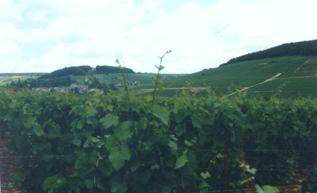 Savigny-les-Beaune : vignes